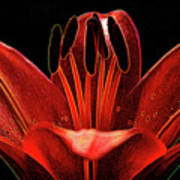 Artistic Red Pixie Asiatic Lily Poster