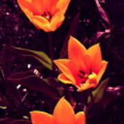 Artistic Tulips By Earl's Photography Poster