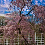 Asian Cherry In Blossom Poster