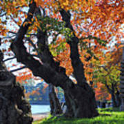 Asian Cherry Trees Of Fall Poster