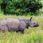 Asian Rhinoceros Poster
