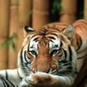 Asian Tiger 5 Poster