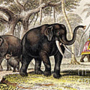 Asiatic Elephant With Young, 19th Poster