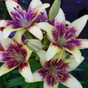 Asiatic Lillies Again Poster