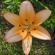 Asiatic Lily With Poster Edges Poster