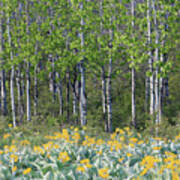 Aspen And Balsam Root Poster