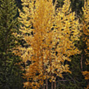 Aspen Gold Poster