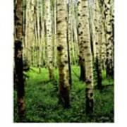 Aspen Grove Flagstaff Arizona Poster