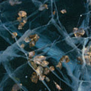 Aspen Leaves Frozen In Lake Poster