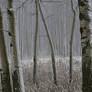 Aspen Stand In A Snowstorm Poster