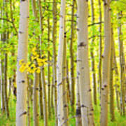 Aspen Tree Forest Autumn Time Portrait Poster