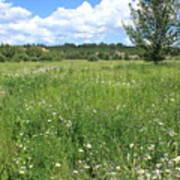 Aspen Tree In Meadow With Wild Flowers Poster