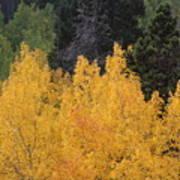 Aspen Trees In Full Bloom Poster