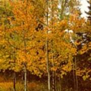 Aspen Trees With Autumn Leaves  Poster