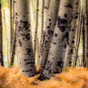 Aspen Trees With Ferns Poster