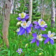Aspens And Columbines Poster