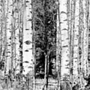 Aspens And The Pine Black And White Fine Art Print Poster