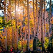 Aspens In Fall Color Poster