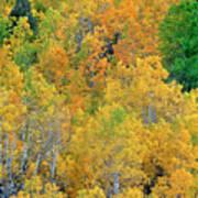 Aspens In Fall Eastern Sierras California Poster