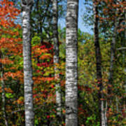 Aspens In Fall Forest Poster