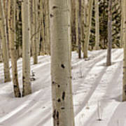 Aspens In Winter 2 Panorama - Santa Fe National Forest New Mexico Poster