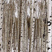 Aspens In Winter Panorama - Colorado Poster