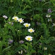 Aster And Daisies Poster