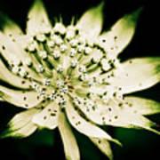 Astrantia In Bloom Poster