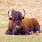 A Buffalo Staring Poster