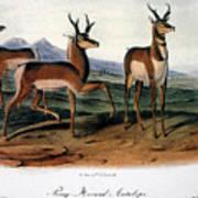 Audubon: Antelope, 1846 Poster
