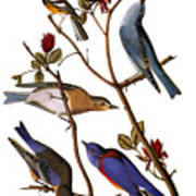 Audubon: Bluebirds Poster