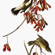Audubon: Bobolink Poster