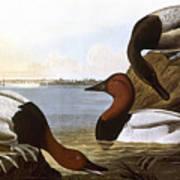 Audubon: Canvasback, 1827 Poster