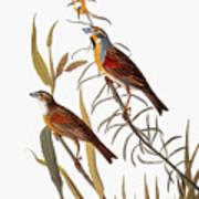 Audubon: Dickcissel Poster