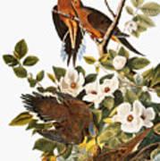 Audubon Dove Poster
