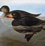 Audubon: Duck, 1827 Poster