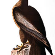 Audubon: Eagle Poster