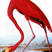 Audubon: Flamingo, 1827 Poster