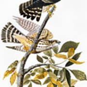 Audubon: Hawk Poster