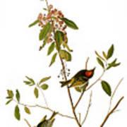 Audubon: Kinglet, 1827 Poster