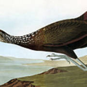Audubon: Limpkin Poster