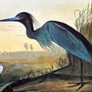 Audubon: Little Blue Heron Poster by Granger