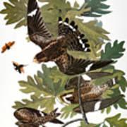 Audubon: Nighthawk Poster