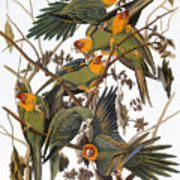 Audubon: Parakeet Poster