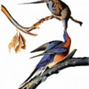 Audubon: Passenger Pigeon Poster