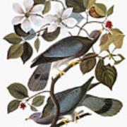 Audubon: Pigeon Poster