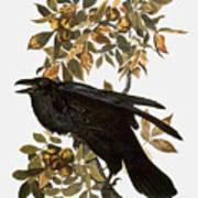 Audubon: Raven Poster