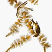 Audubon: Siskin Poster