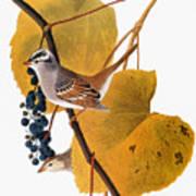 Audubon: Sparrow Poster