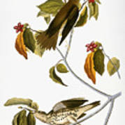 Audubon: Thrush Poster